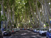 street lined with bloodgood london planetrees from arboradvisor of colorado