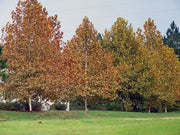 group of bloodgood london planetrees in the fall from arboradvisor of colorado