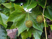 leaves and fruit of a bloodgood london planetree from arboradvisor of colorado