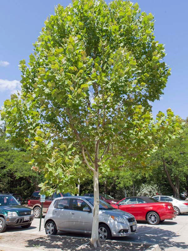 bloodgood london planetree in a parking lot from arboradvisor of colorado