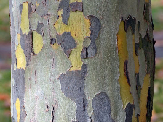 trunk and bark on a bloodgood london planetree from arboradvisor of colorado