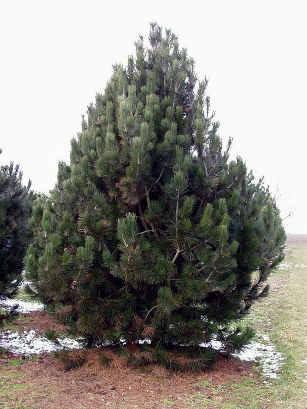 bosnian pine tree from arboradvisor of colorado