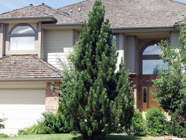 bosnian pine tree in front yard from arboradvisor of colorado