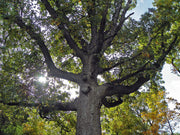 under the canopy of a bur oak tree from arboradvisor of colorado