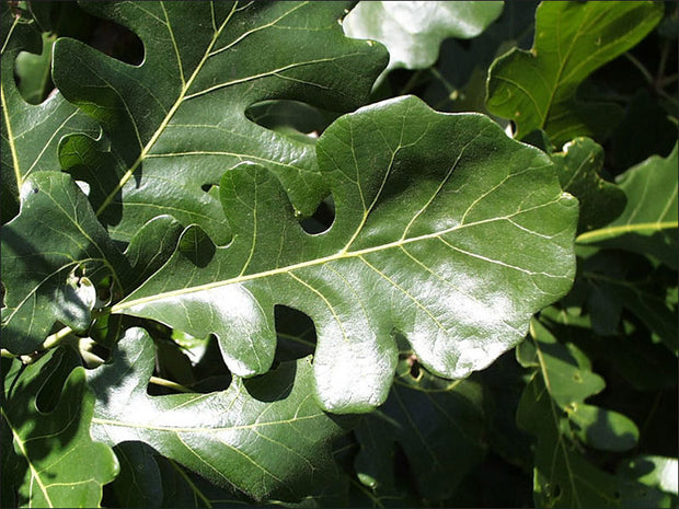 leaves of a bur oak tree from arboradvisor of colorado
