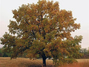 bur oak tree in fall from arboradvisor of colorado