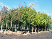 cluster of bur oak trees in a nursery from arboradvisor of colorado