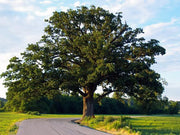 mature bur oak tree from arboradvisor of colorado
