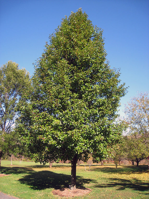 chanticleer pear tree in park arboradvisor of colorado