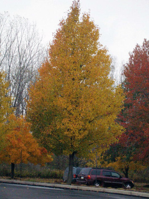 chanticleer pear trees in fall arboradvisor of colorado