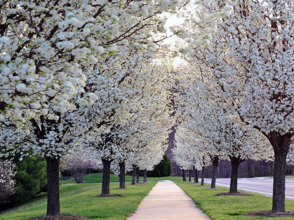 row of flowering chanticleer pear trees from arboradvisor of colorado