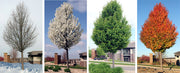 chanticleer pear trees in every season arboradvisor of colorado