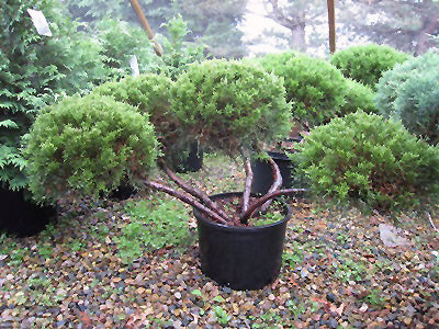 potted chinese juniper or pom pom juniper tree arboradvisor of colorado