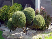 chinese juniper or pom pom juniper tree in front yard arboradvisor of colorado