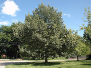 chinkapin oak tree on large lawn arboradvisor of colorado