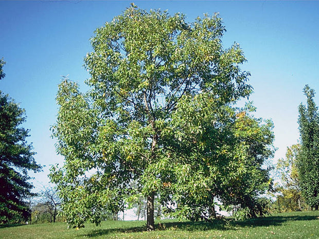 mature chinkapin oak tree arboradvisor of colorado