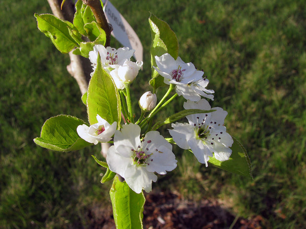 white flowers of a cleveland select flowering pear tree arboradvisor of colorado
