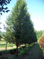 row of cleveland select flowering pear trees arboradvisor of colorado