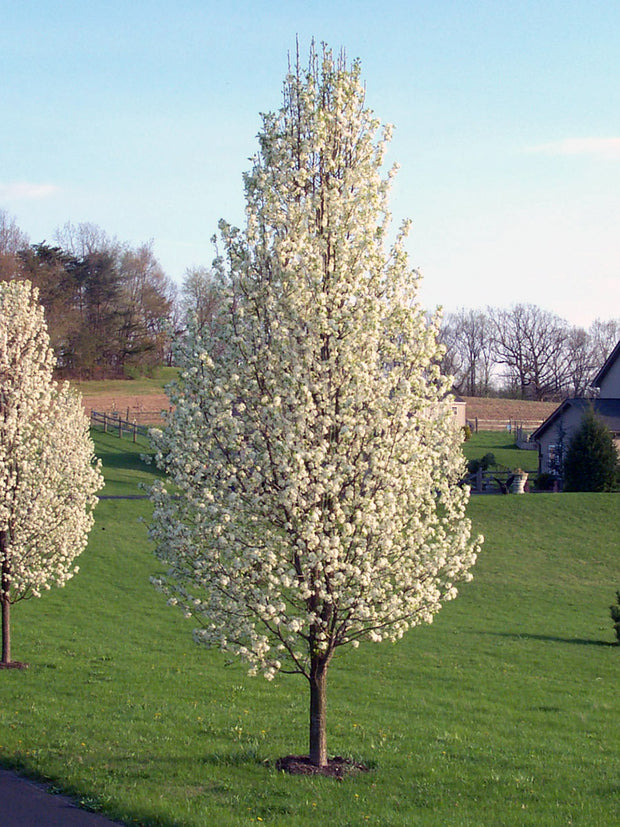 cleveland select flowering pear tree arboradvisor of colorado