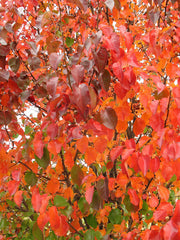 fall colors on a cleveland select flowering pear tree arboradvisor of colorado