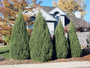 privacy screen or hedge of cologreen rocky mountain juniper tree arboradvisor of colorado