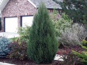 cologreen rocky mountain juniper tree arboradvisor of colorado