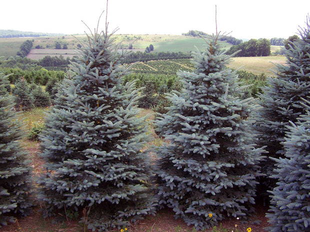 cluster of colorado blue spruce trees arboradvisor of colorado