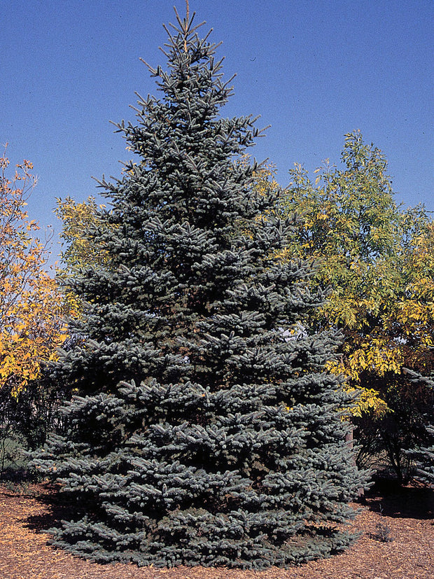 colorado blue spruce tree arboradvisor of colorado