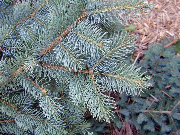 needles of a colorado blue spruce tree arboradvisor of colorado