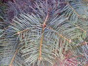 needles of a concolor fir or white fir tree arboradvisor of colorado