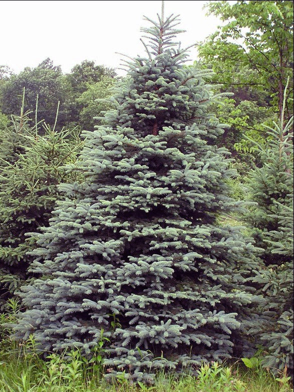 concolor fir or white fir tree arboradvisor of colorado
