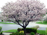 flowering coralburst crabapple tree arboradvisor of colorado