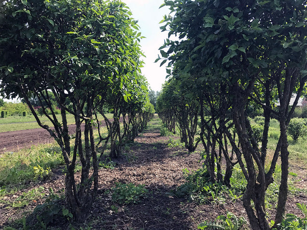 row of cornelian cherry dogwood trees from arboradvisor of colorado