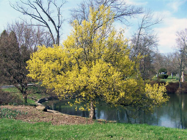 cornelian cherry dogwood tree in the fall from arboradvisor of colorado