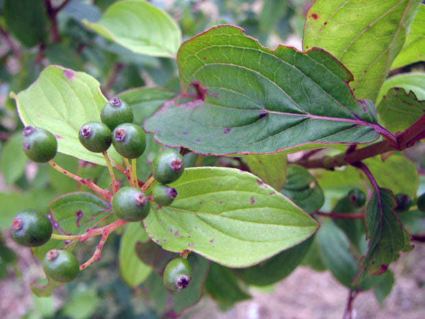 leaves and fruit on a cornelian cherry dogwood tree from arboradvisor of colorado