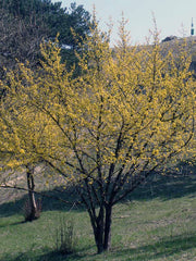 cornelian cherry dogwood tree in fall arboradvisor of colorado