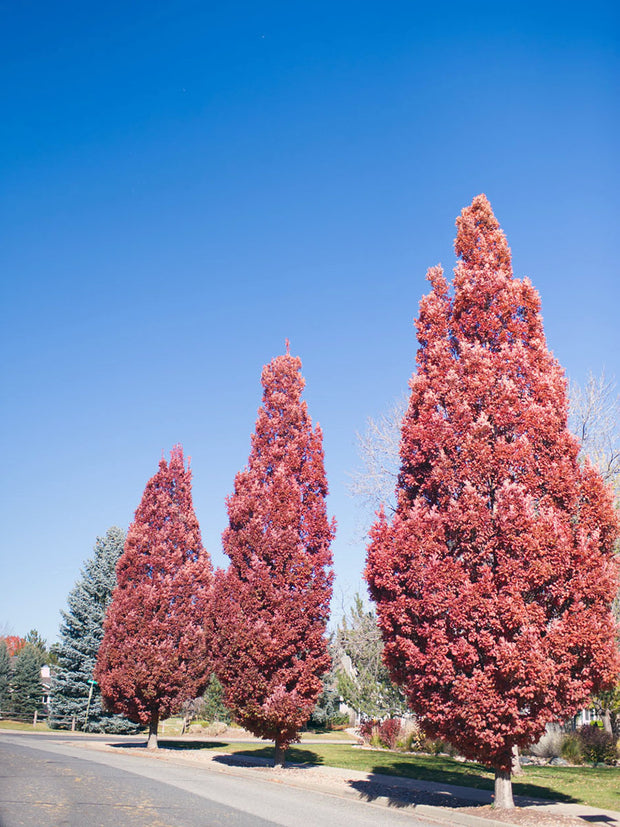 crimson spire oak trees in the fall arboradvisor of colorado