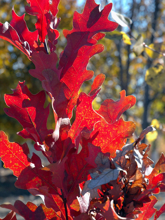 red leaves of a crimson spire oak tree in the fall arboradvisor of colorado