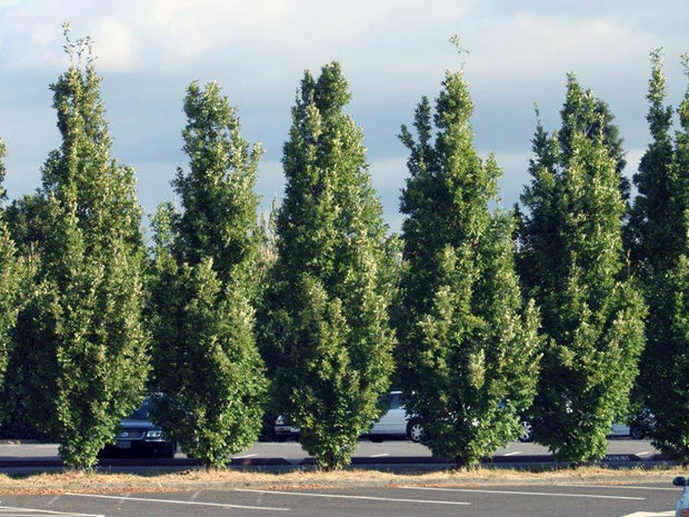 row of crimson spire oak trees arboradvisor of colorado