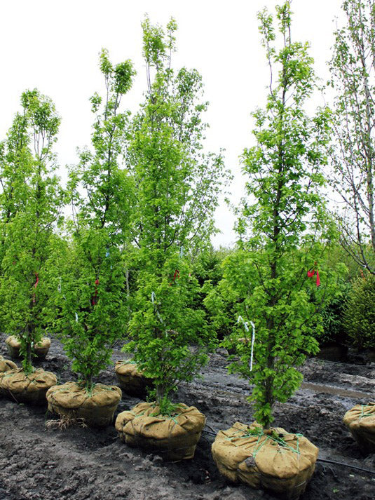 row of crimson spire oak trees at the nursery arboradvisor of colorado