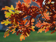 orange leaves of a crimson spire oak tree in the fall arboradvisor of colorado