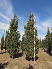 crimson spire oak trees arboradvisor of colorado