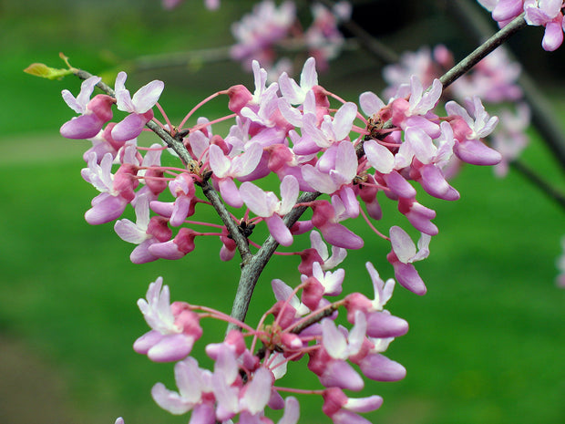 pink flowers of an eastern red bud tree arboradvisor of colorado