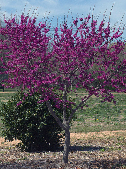 juvenile eastern red bud tree arboradvisor of colorado