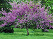 flowering eastern red bud tree arboradvisor of colorado