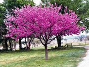 eastern red bud tree in bloom arboradvisor of colorado