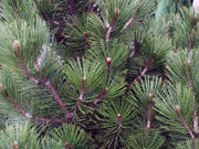 needles of an emerald arrow bosnian pine tree arboradvisor of colorado