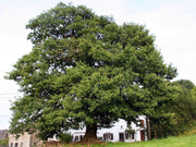 english oak tree arboradvisor of colorado