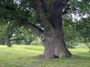 under the shade of an english oak tree arboradvisor of colorado