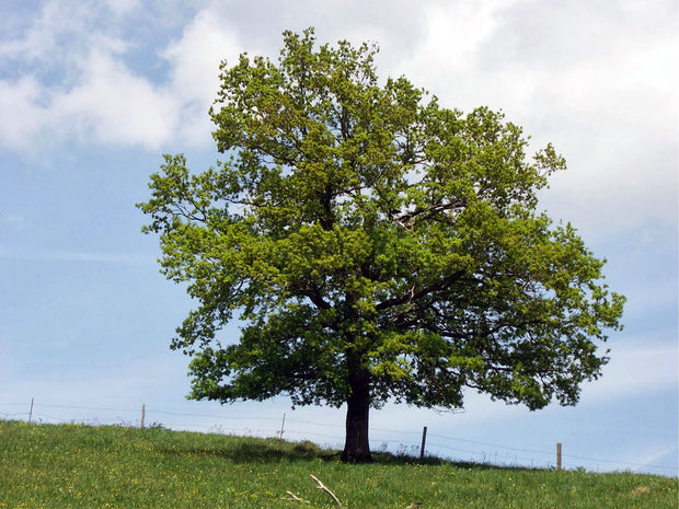 english oak tree on a hillside arboradvisor of colorado